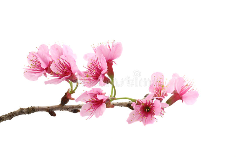 开花樱桃花粉红色佐仓 库存图片