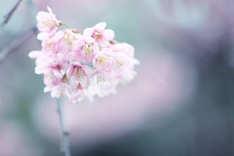 开花樱桃花粉红色佐仓 图库摄影