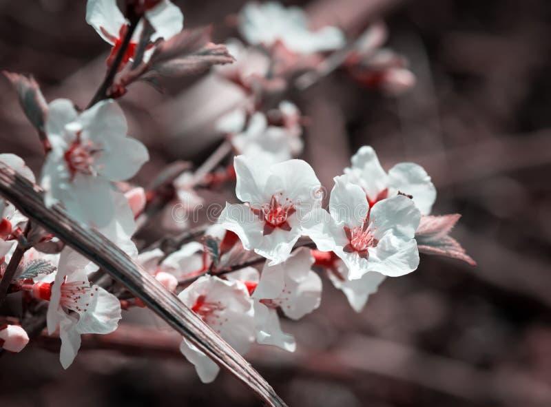 开花樱桃花 库存图片