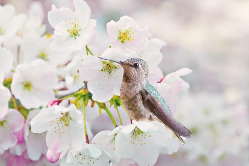 开花樱桃蜂鸟 免版税库存照片
