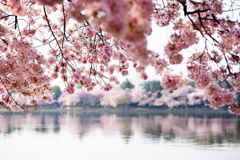 开花樱桃dc结构树华盛顿 免版税库存照片
