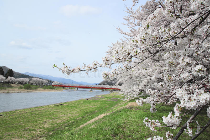开花樱桃kakunodate 库存图片