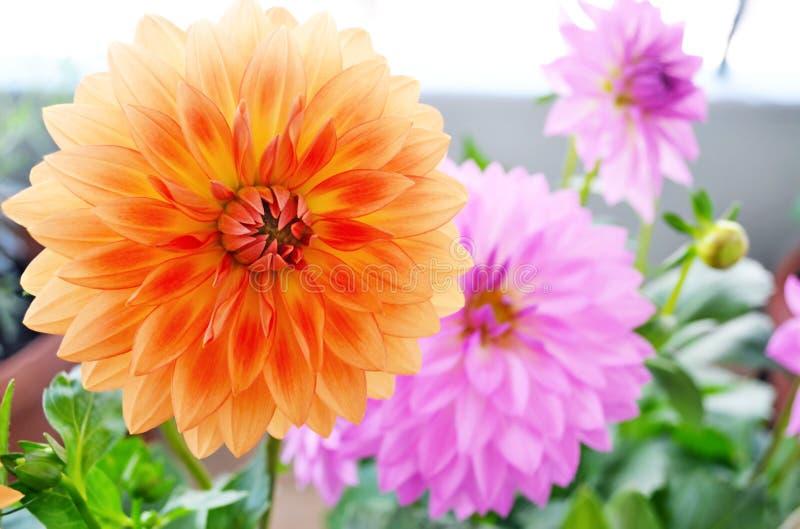 开花橙色和紫色大丽花花 免版税库存图片