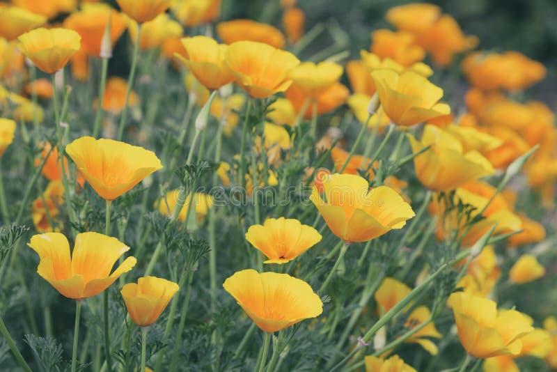 开花橙色鸦片 背景蓝色云彩调遣草绿色本质天空空白小束 库存照片