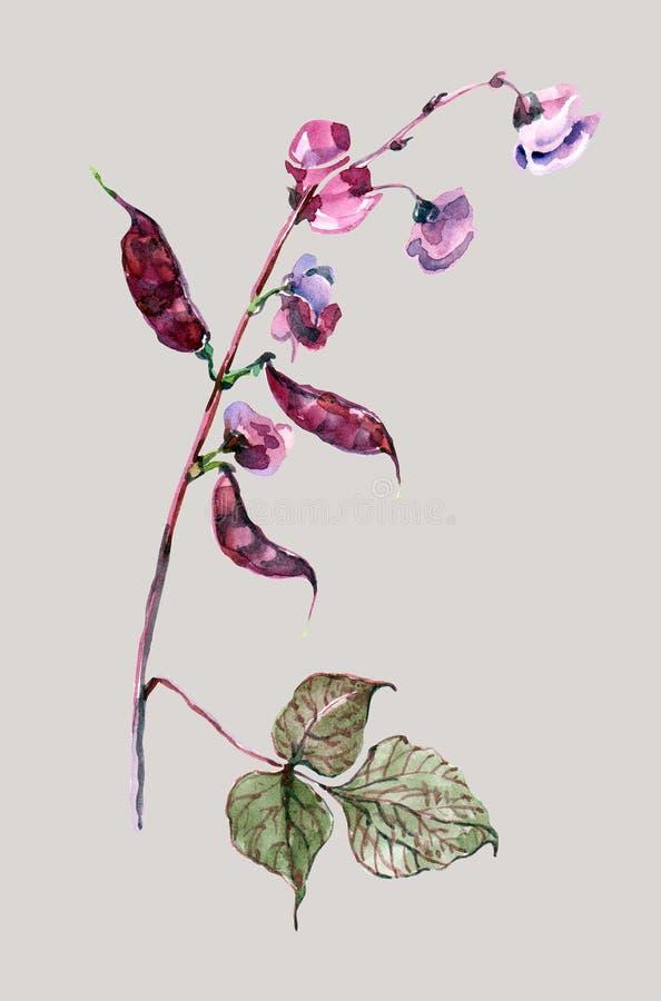 开花水彩扁豆  在灰色背景的花卉例证 库存例证