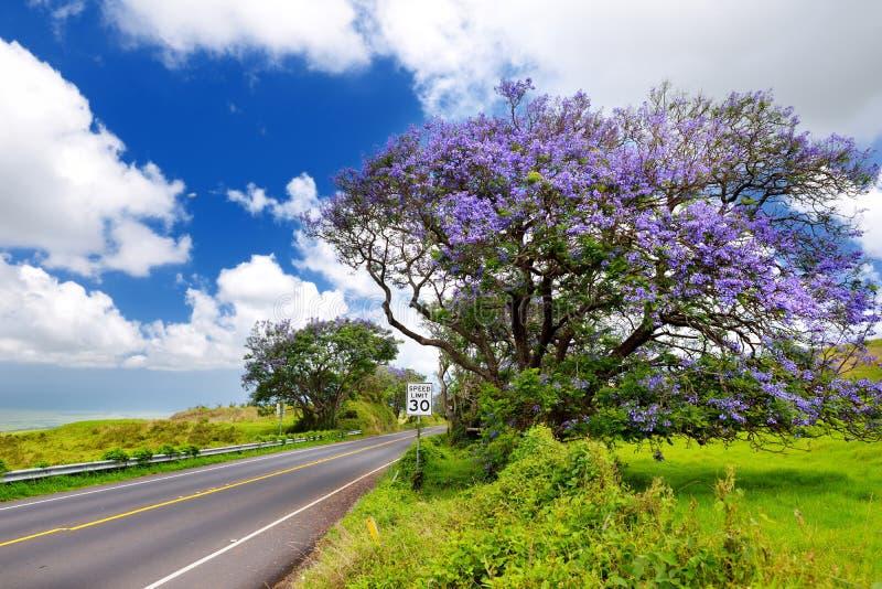 开花沿毛伊海岛,夏威夷路的美丽的紫色兰花楹属植物树  免版税库存图片