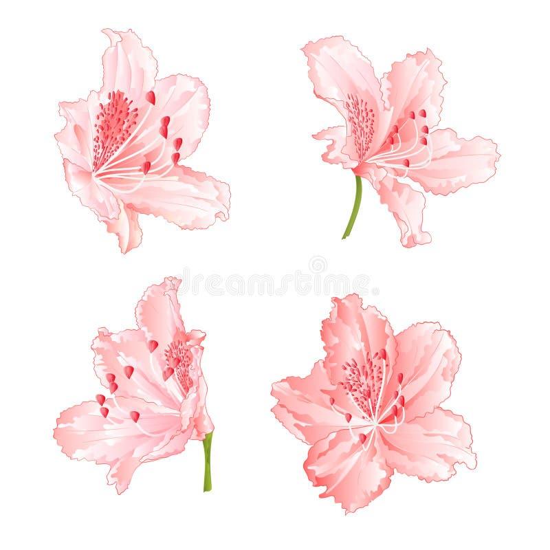 开花浅粉红色的杜鹃花设置了两在一个白色背景葡萄酒传染媒介例证编辑可能 向量例证