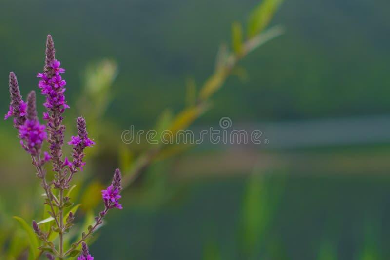 开花淡紫色紫罗兰 免版税库存照片