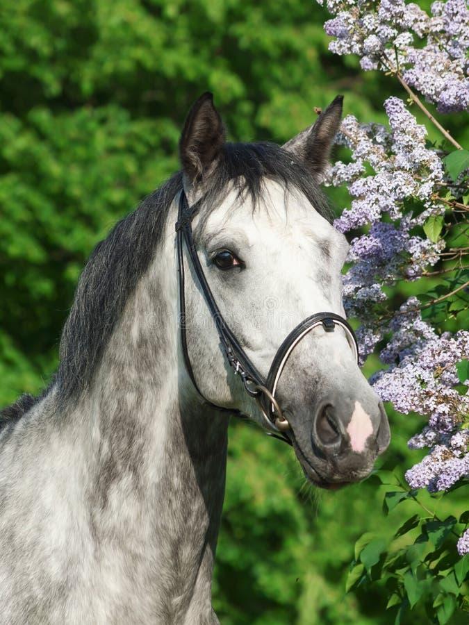 开花灰色马淡紫色最近的好的纵向 免版税图库摄影
