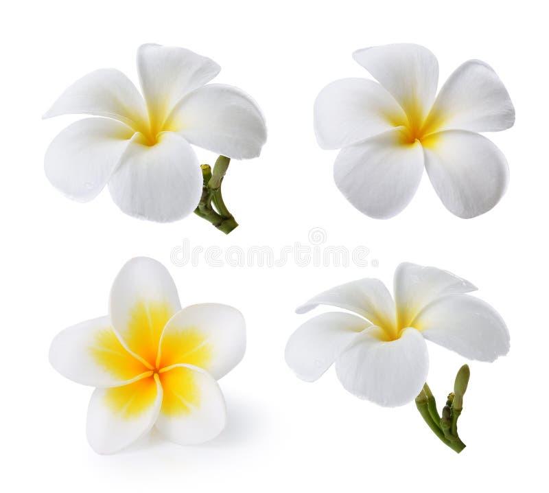 开花热带杏仁奶油饼的羽毛 库存图片