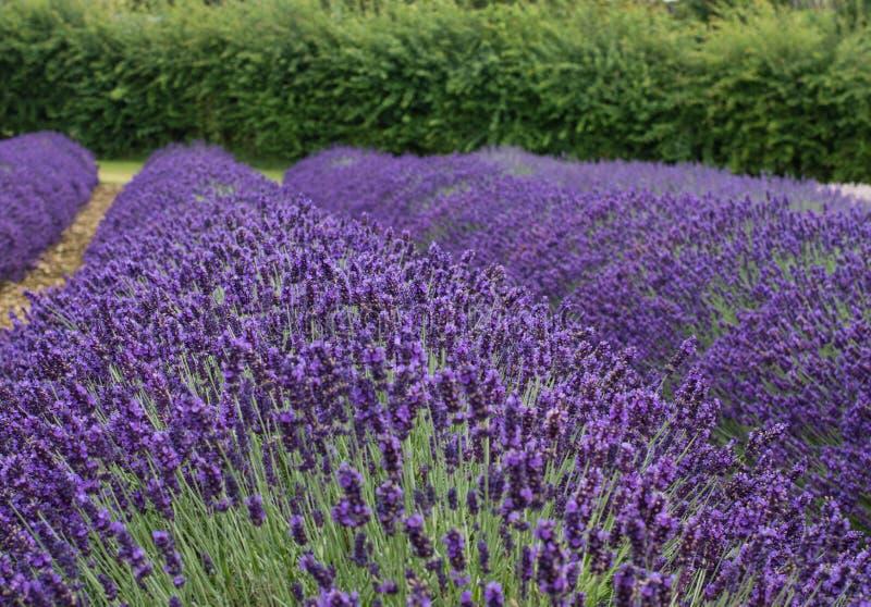 开花特写镜头详细资料淡紫色工厂紫罗兰色白色 库存照片