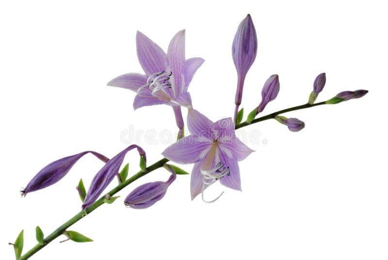 开花玉簪属植物紫色 免版税库存照片