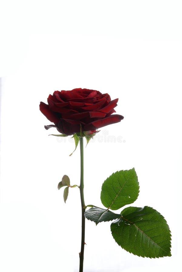 开花玫瑰红对naomi 库存图片