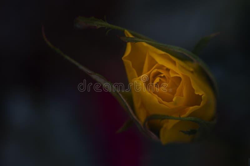 开花玫瑰色黄色 免版税库存图片