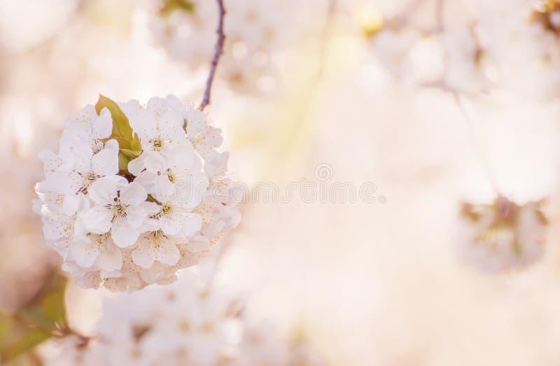 开花甜樱桃树起点  打开的美妙的招标第一朵花 艺术性的照片 有选择性的软的焦点 免版税库存照片