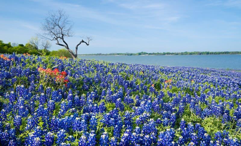 开花由一个湖的得克萨斯矢车菊在春天 免版税库存照片