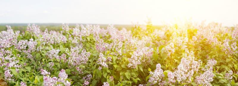 开花的丁香全景  在春季的淡紫色绽放 库存照片