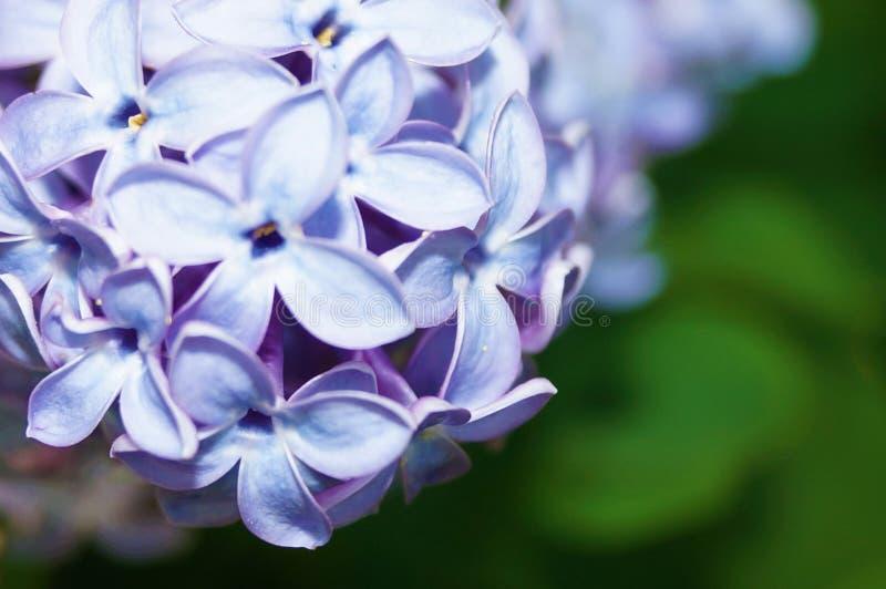 开花的丁香接近  被弄脏的背景 免版税库存照片