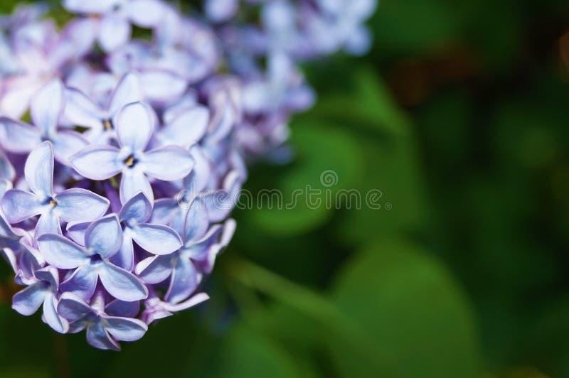 开花的丁香接近  被弄脏的背景 库存照片