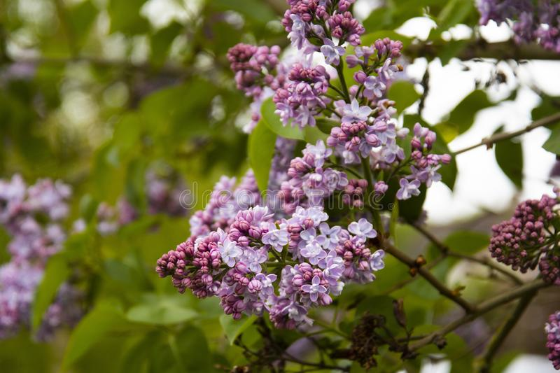开花的丁香春天分支,自然看法 免版税图库摄影