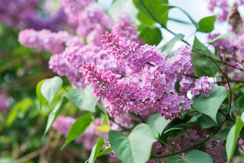 开花的丁香 与春天花的墙纸 免版税库存照片