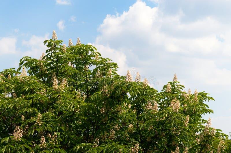 开花的七叶树花 库存图片