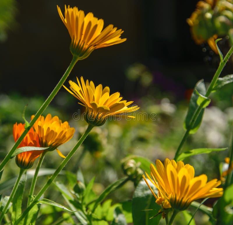 开花的万寿菊花 E 从边射击的橙色金盏草花反对太阳 免版税库存图片