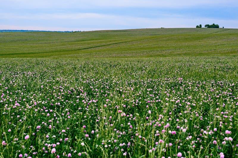 开花的三叶草的领域 库存照片