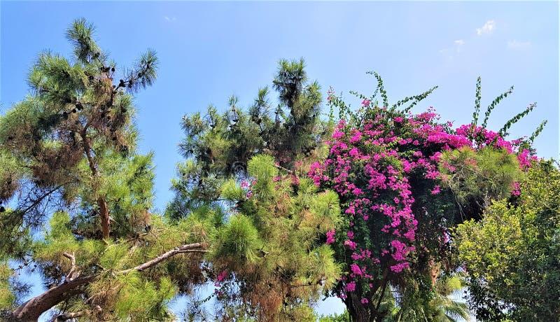 开花的九重葛和松树在家庭旅馆,凯梅尔,土耳其庭院里  免版税库存照片