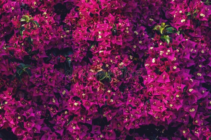 开花的九重葛美好的背景在绿色庭院里开花 库存照片