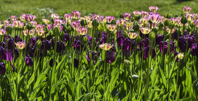 开花的五颜六色的郁金香在庭院,春天里在波兰 免版税库存照片