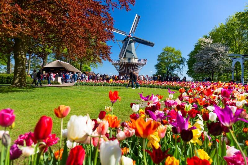 开花的五颜六色的郁金香花圃在有风车的公开花园里 普遍的旅游胜地 利瑟,荷兰,荷兰 免版税库存图片