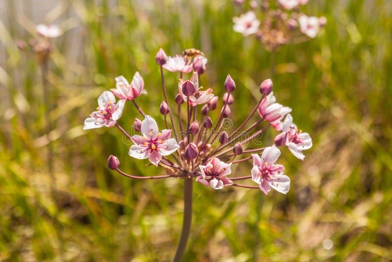开花的仓促Butomus umbellatus特写镜头 库存照片