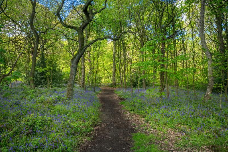 开花的会开蓝色钟形花的草在春天,英国开花 免版税库存照片
