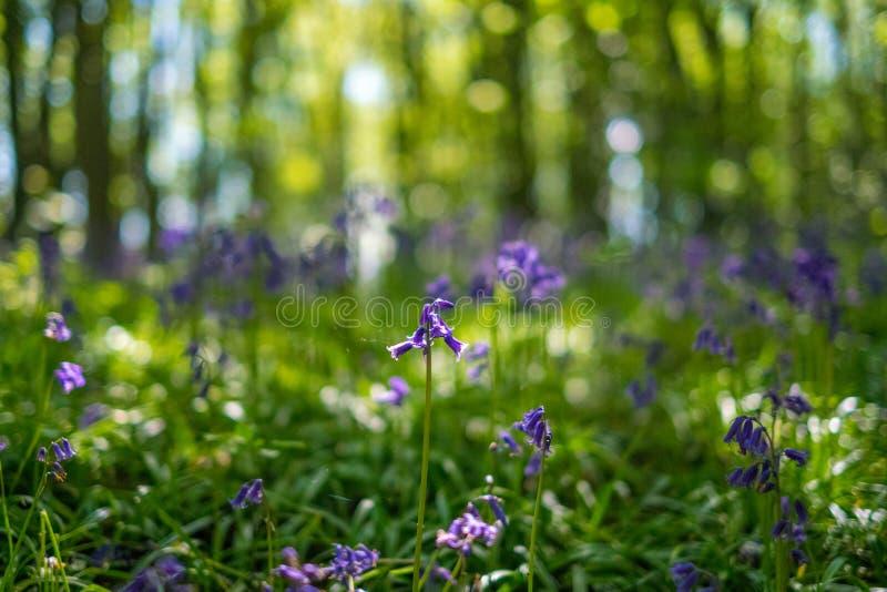 开花的会开蓝色钟形花的草在春天,英国开花 库存照片