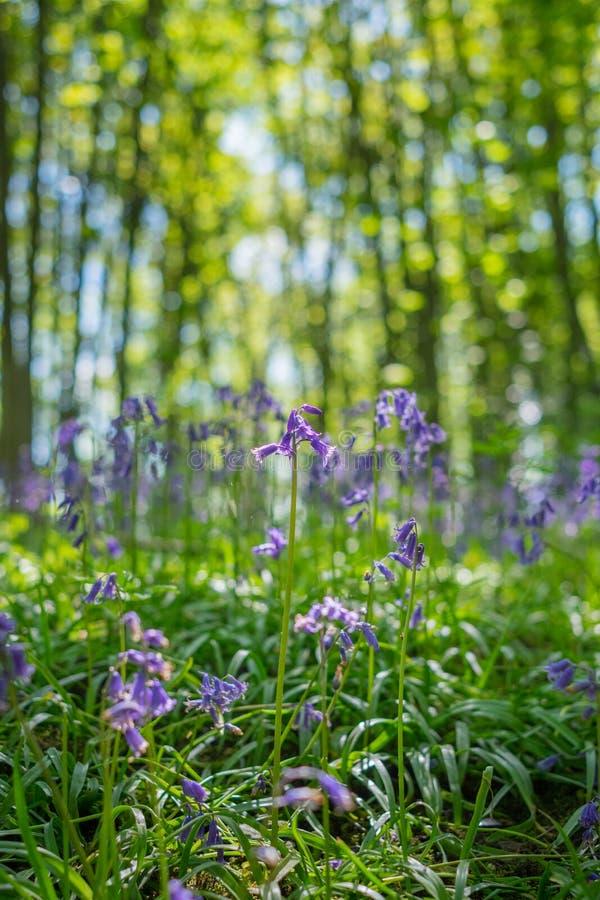 开花的会开蓝色钟形花的草在春天,英国开花 库存图片
