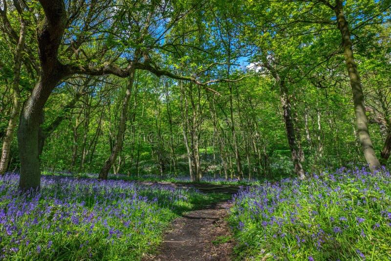 开花的会开蓝色钟形花的草在春天,英国开花 免版税图库摄影