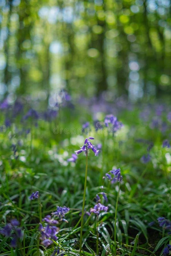 开花的会开蓝色钟形花的草在春天,英国开花 图库摄影
