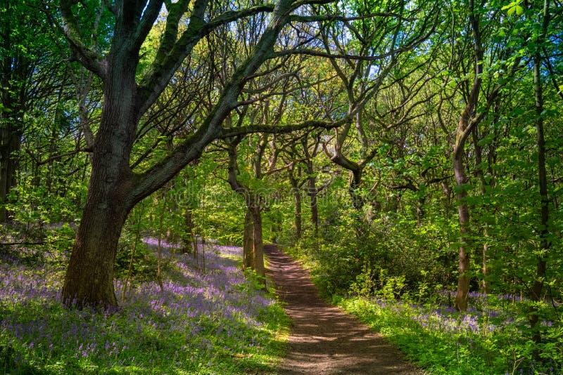 开花的会开蓝色钟形花的草在春天,英国开花 免版税库存图片