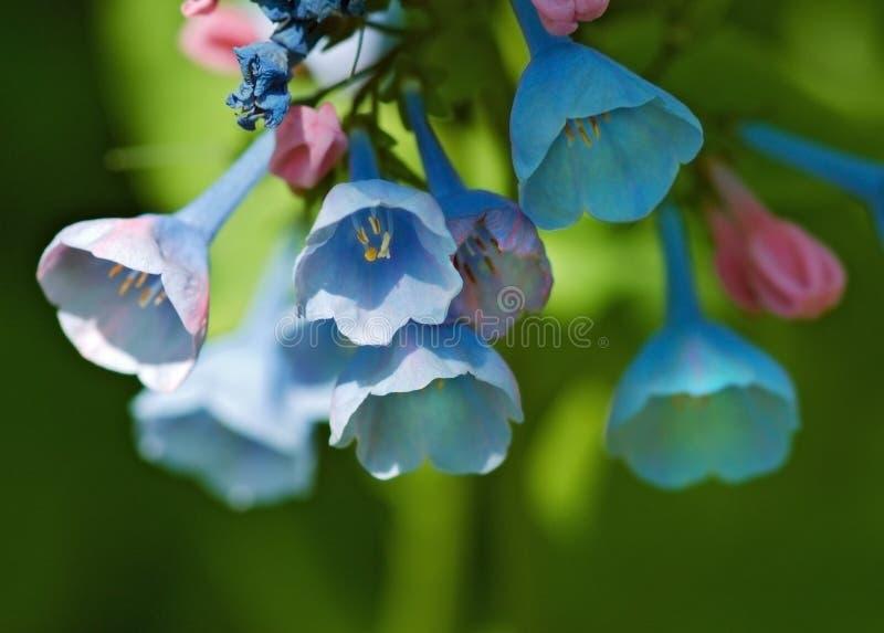 开花的会开蓝色钟形花的草弗吉尼亚 库存图片