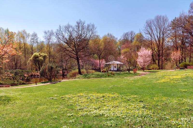 开花的佐仓在日本庭院里 库存图片