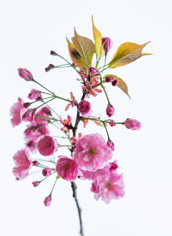 开花的佐仓的被隔绝的分支白色背景的 图库摄影