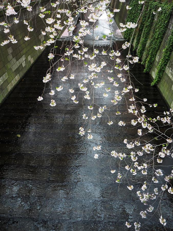 开花的佐仓开花垂悬在Meguro河小河的分支 免版税库存照片