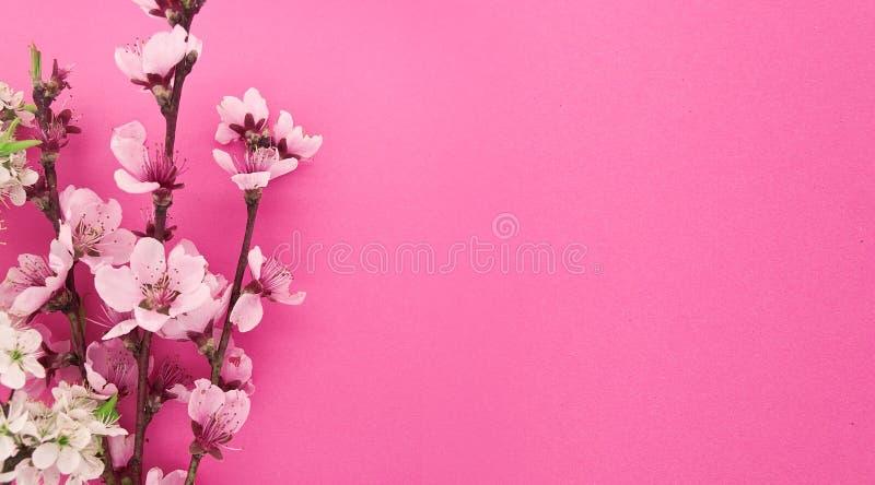 开花的佐仓,春天在桃红色背景开花