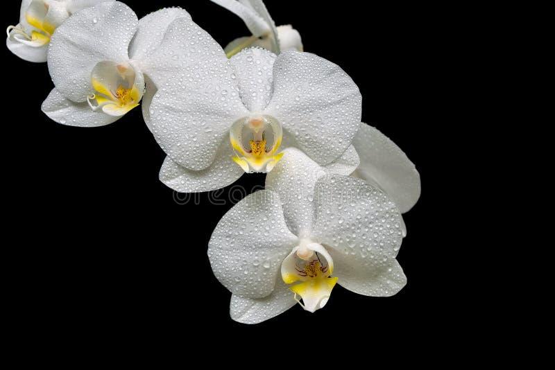 开花的兰花在黑背景特写镜头分支隔绝 免版税库存照片