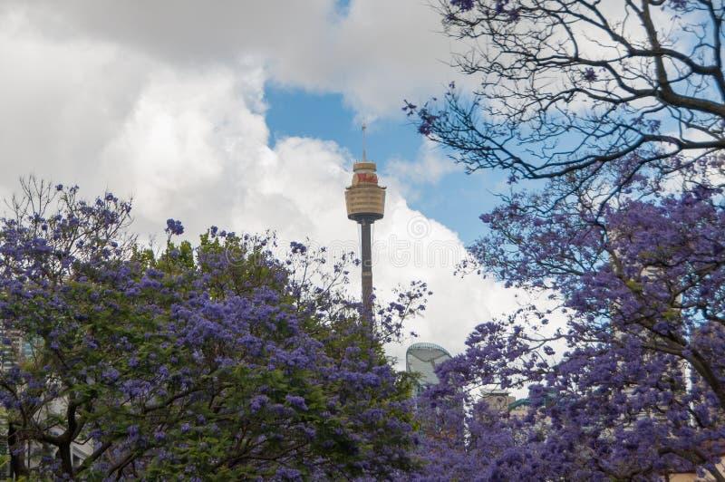 开花的兰花楹属植物树胡同与悉尼Westfield塔的  免版税库存图片