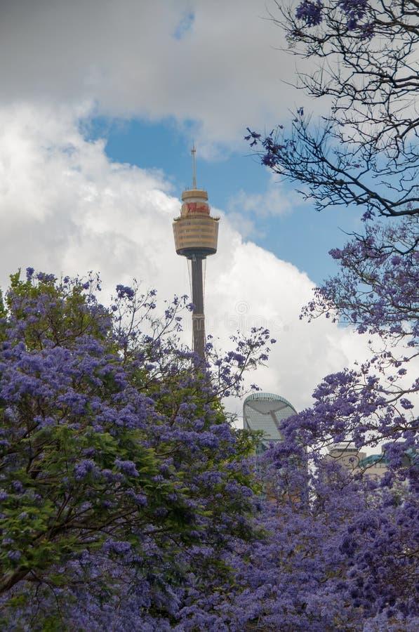 开花的兰花楹属植物树胡同与悉尼Westfield塔的  库存图片