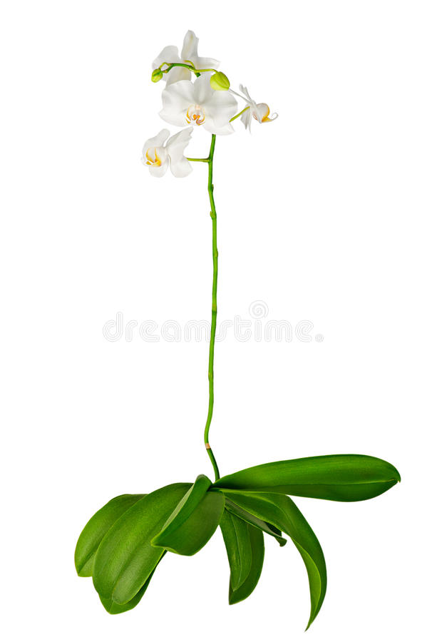 开花的兰花白色 免版税图库摄影