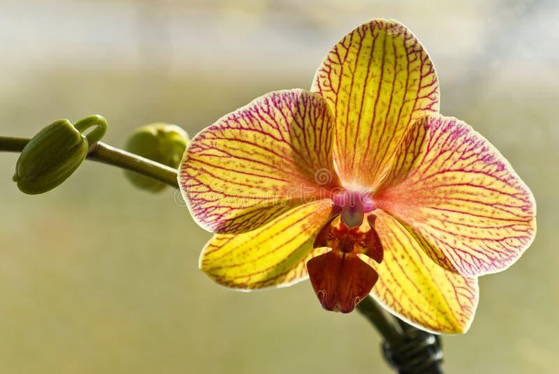 开花的兰花黄色 库存照片