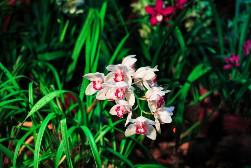 开花的典雅的桃红色兰花在开花庭院里 在被弄脏的花卉背景的春天花 库存图片